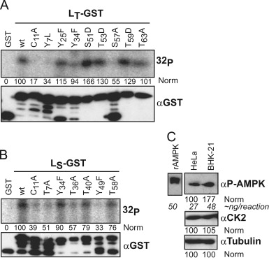 AMP-activated protein kinase phosphorylates EMCV, TMEV and