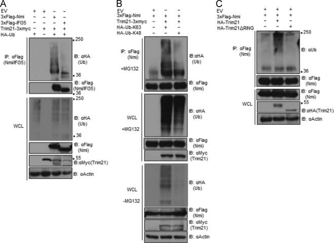 Trim21 regulates Nmi-IFI35 complex-mediated inhibition of