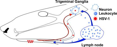 Modeling the pathology, immune responses, and kinetics of