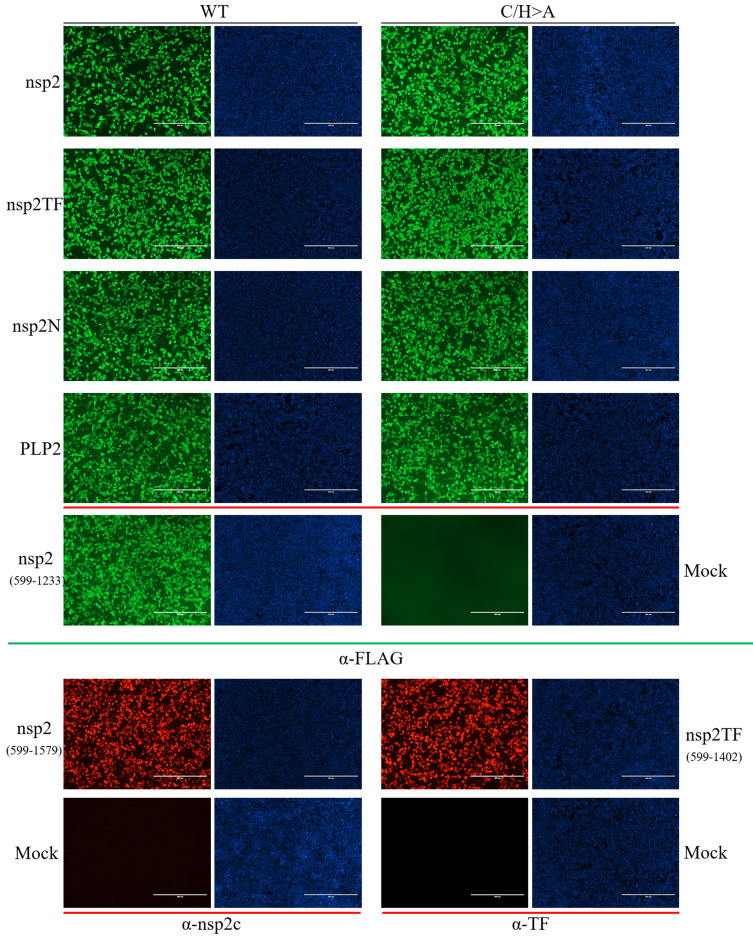 Nonstructural Proteins Nsp2tf And Nsp2n Of Porcine