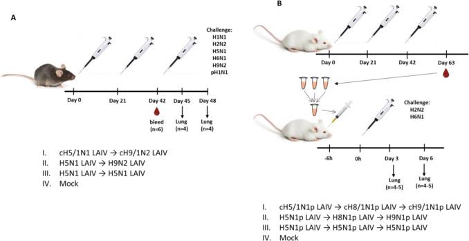 Broadly protective anti-hemagglutinin stalk antibodies