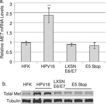 Human papillomavirus type 16 E5-mediated upregulation of Met in