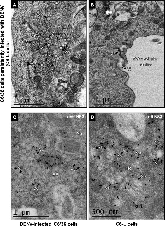 Mosquito cells persistently infected with dengue virus