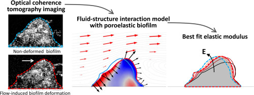 Determination of mechanical properties of biofilms by