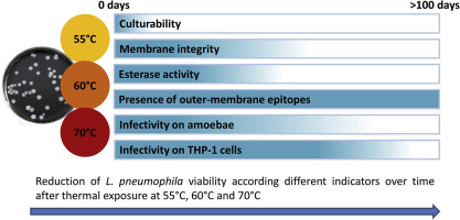 Viability and infectivity of viable but nonculturable Legionella