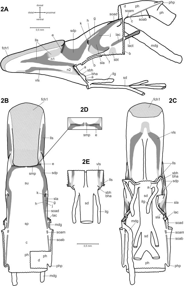 A comparative study of the hypopharynx in Dictyoptera (Insecta ...