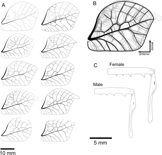 Wing Resonances In A New Dead Leaf Mimic Katydid Tettigoniidae