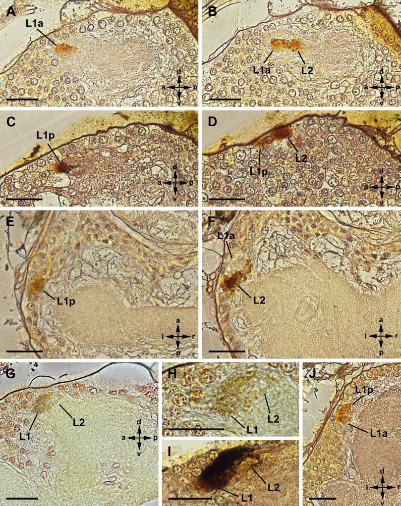 A tiny visual system — retinula axons and visual neuropils