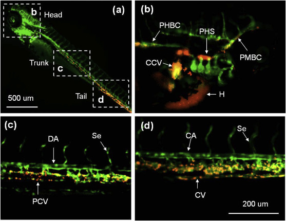 Intensive epidermal adsorption and specific venous deposition of