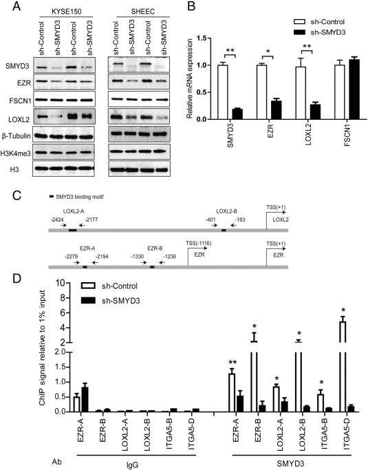SMYD3 stimulates EZR and LOXL2 transcription to enhance