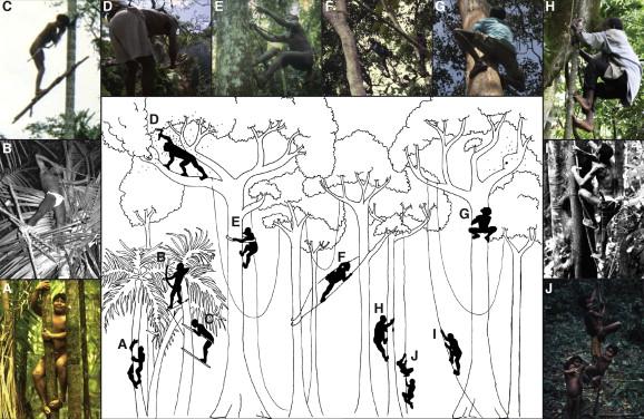 A natural history of human tree climbing - ScienceDirect