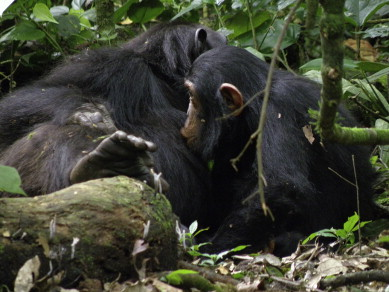 Dental eruption in East African wild chimpanzees - ScienceDirect