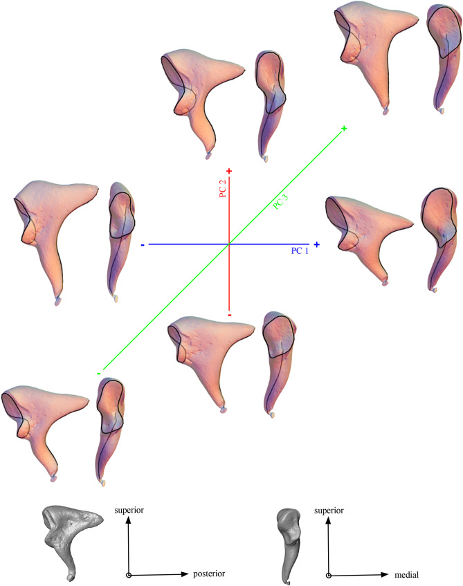 Comparative anatomy of the middle ear ossicles of extant hominids ...