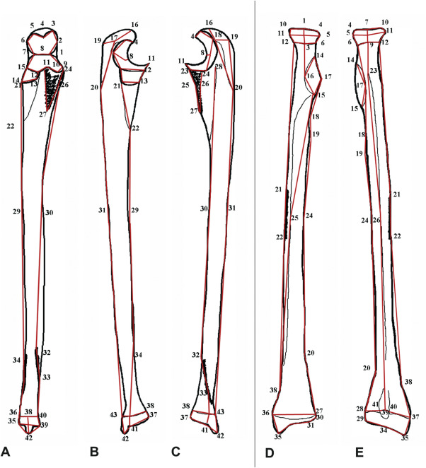 Evolutionary Anatomy Of The Neandertal Ulna And Radius In The Light