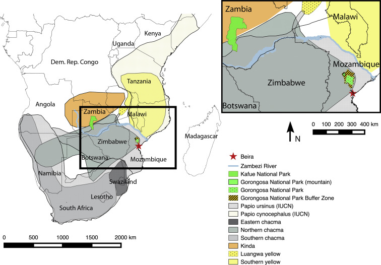 A missing piece of the Papio puzzle: Gorongosa baboon phenostructure