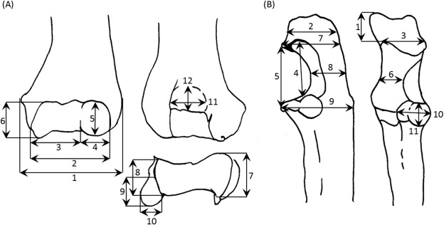 Forelimb Morphology And Substrate Use In Extant Cercopithecidae And