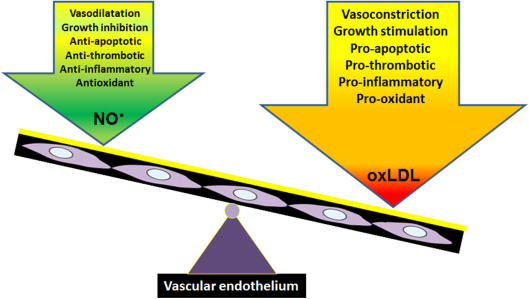 Oxidized LDL and NO synthesis—Biomarkers of endothelial