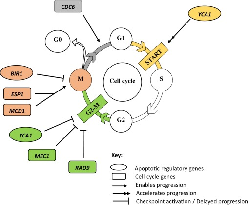 Cell cycle involvement in autophagy and apoptosis in yeast fig 3 ccuart Gallery