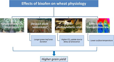 Effect of bixafen on senescence and yield formation of wheat