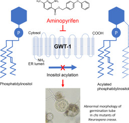 A novel fungicide aminopyrifen inhibits GWT-1 protein in
