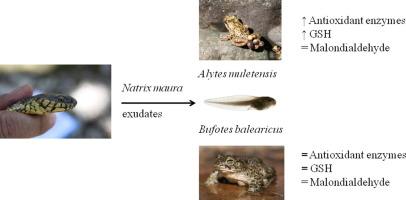 Invasive predator snake induces oxidative stress responses