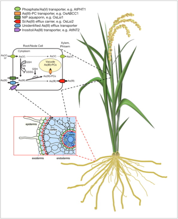 arsenic transport and metabolism in plants
