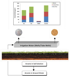 Arsenic Species In Wheat Raw And Cooked Rice Exposure And
