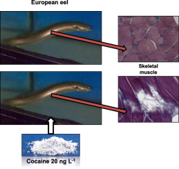 Effects of environmental cocaine concentrations on the