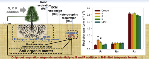 Strong root respiration response to nitrogen and phosphorus
