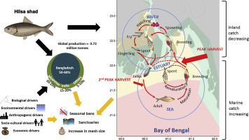 Biology and fisheries of Hilsa shad in Bay of Bengal - ScienceDirect