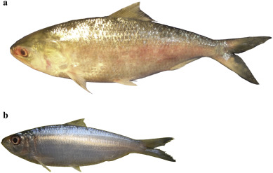 Biology and fisheries of Hilsa shad in Bay of Bengal