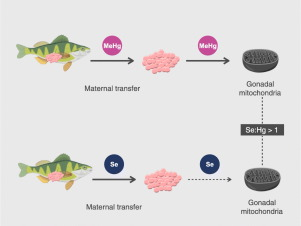 The fish or the egg: Maternal transfer and subcellular