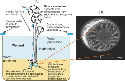 Root Iron Plaque On Wetland Plants As A Dynamic Pool Of Nutrients