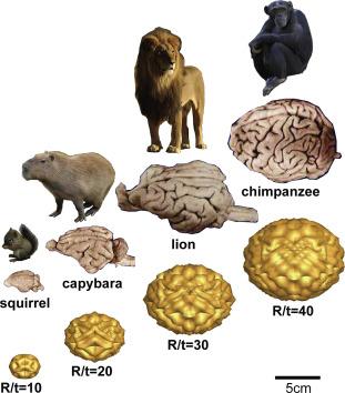 Mammalian Brain An Overview Sciencedirect Topics