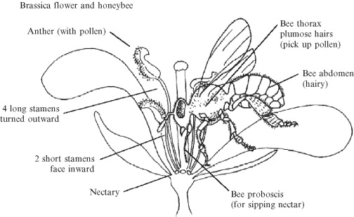 Honeybees and rapeseed a pollinatorplant interaction sciencedirect showing bee flower interaction in relation to pollination of brassica species ccuart Images