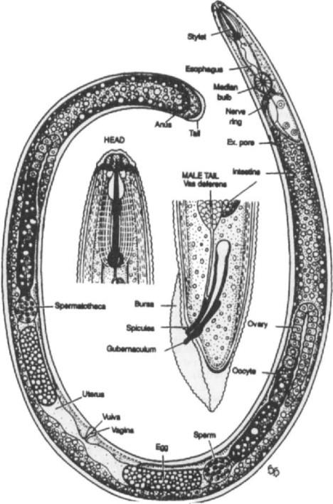 Trichocephalosis patogen - 4vip.ro
