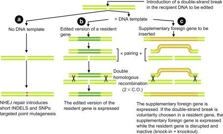 Homology Directed Repair - an overview | ScienceDirect Topics