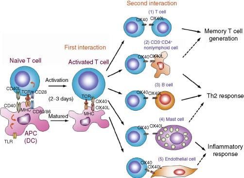 Anticorpi împotriva antigenelor de trichinella helminth