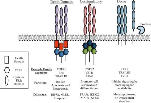 Tumor Necrosis Factor Receptor Superfamily in T Cell Priming