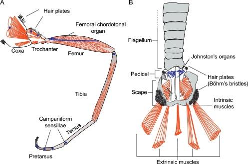 Antennal Mechanosensors and Their Evolutionary Antecedents ...