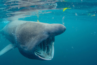 Basking Shark - an overview | ScienceDirect Topics