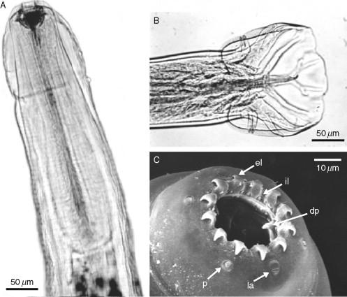 paraziták oesophagostomum venulosum)