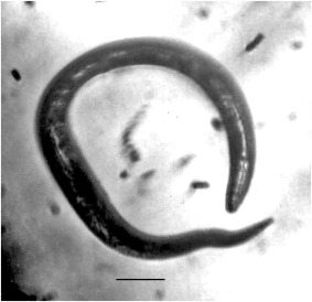 enterobiosis kabinet
