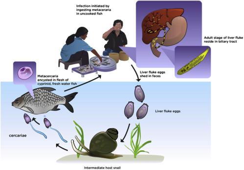 opisthorchiasis helminthiasis férgek és ezek kezelése népi gyógyszerekkel