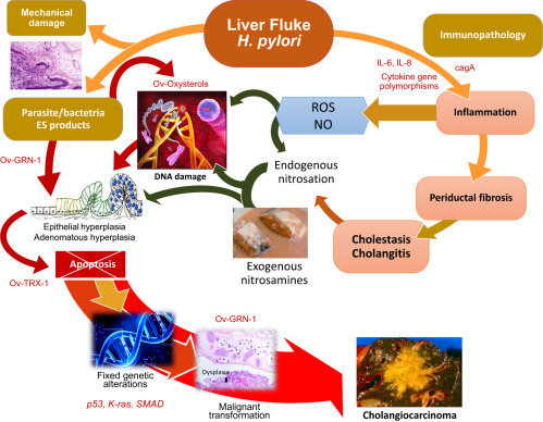 Liver Fluke - an overview   ScienceDirect Topics