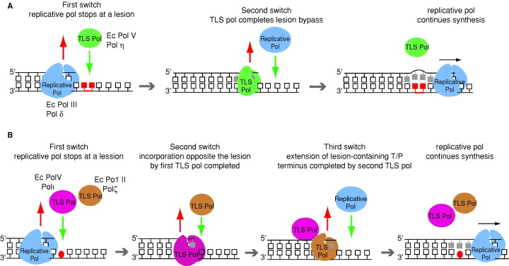 models for dna polymerase switching during translesion synthesis a model for lesion bypass by a single tls polymerase b model for lesion bypass by two
