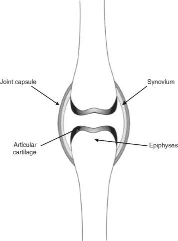 The Development Of Synovial Joints Sciencedirect