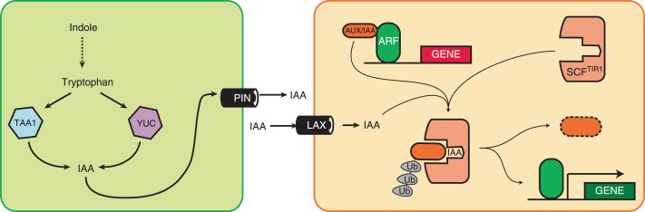 Auxin Producing Area Of A Plant Diagram