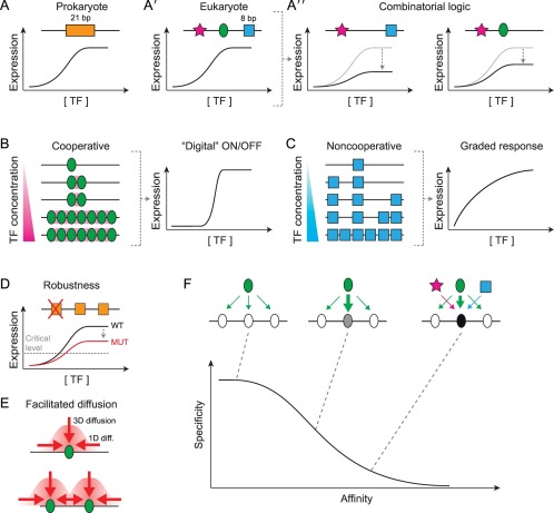 The Soft Touch: Low-Affinity Transcription Factor Binding