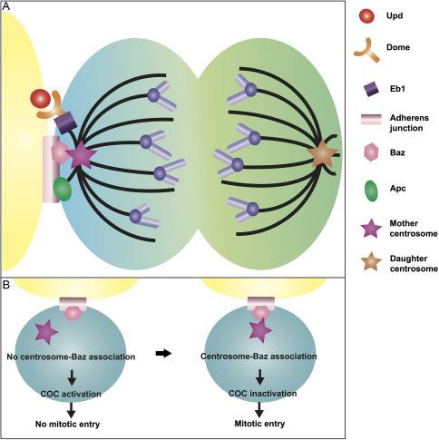 Germline stem cell homeostasis - ScienceDirect